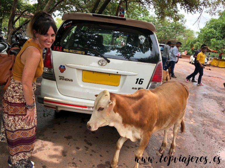 Vaca en Goa India