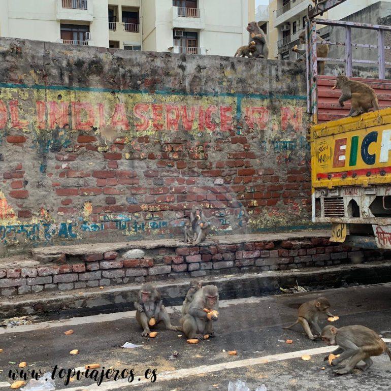 Monos por la carretera en Jaipur